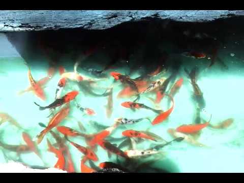 Quality kois at quezon city only at ardyam koi farm youtube for Koi pond quezon city