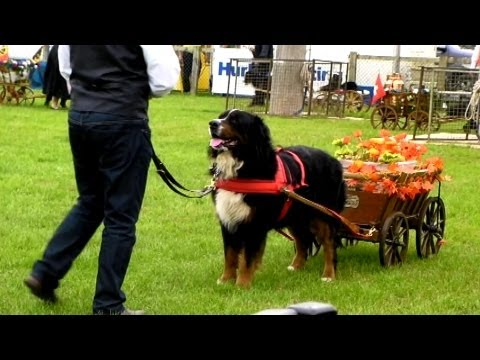 Bernese mountain dogs pulling carts at the Royal county of Berkshire Show 2013