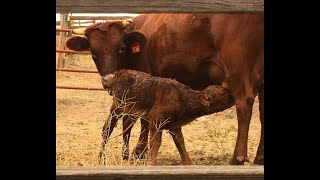 Gestation, Labor, & Calving: Cow Reproduction Part II Video