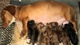 Dachshund Dog Gave Birth To 10 Puppies