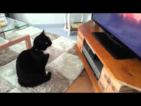 Figaro TVShow - Figaro is watching TV