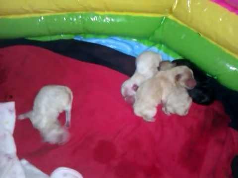 newborn pomeranian puppies - YouTube