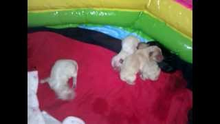 Newborn Pomeranian Puppies