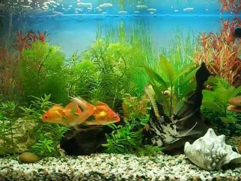 рыбок и разновидности золотых фото