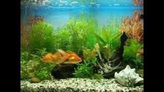 Золотые рыбки оранды и скалярии в аквариуме