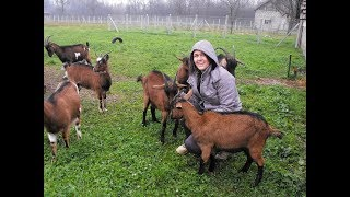 Alpske koze donose natprosječnu zaradu u BiH