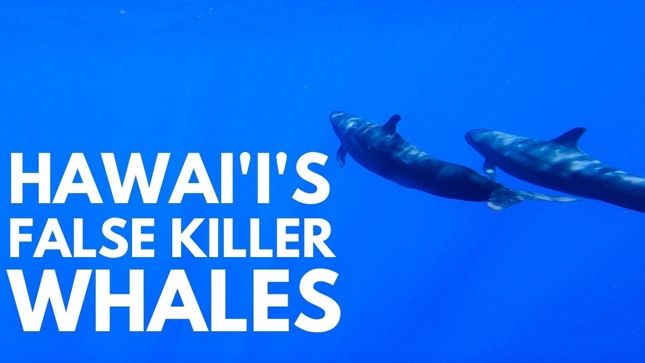 Whale Watching in Hawaii When Dolphins Steal the Show | 3 types of dolphins on a Maui whale watch