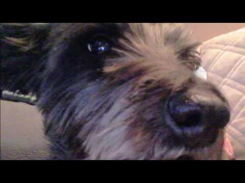 Bailee - Purebred Cairn Terrier for adoption/fostered in Salt Lake City