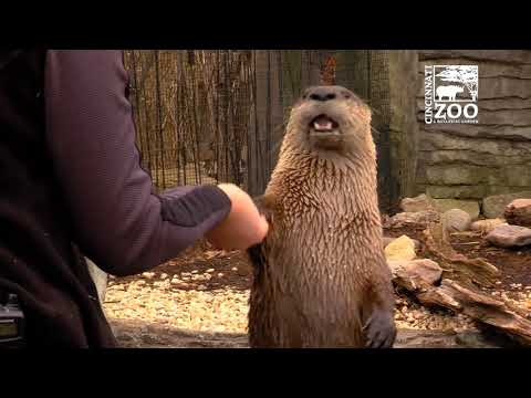 River Otter Training - Cincinnati Zoo