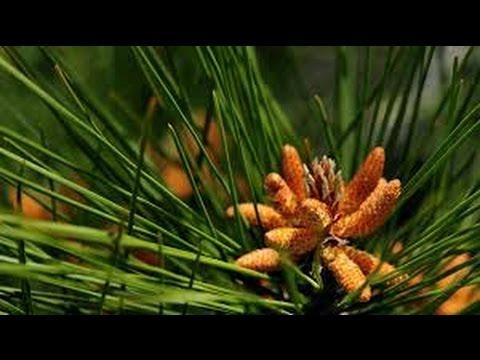 Цветочная пыльца : как принимать и как лечиться?