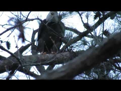 Dad Norfolk's nest: Female arrives male leaves 2/21/17
