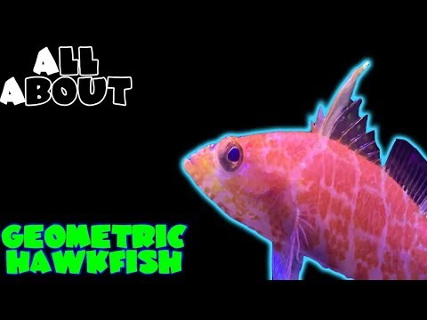 All About The Geometric Hawkfish Or Pygmy Perchlet Or Hi Fin Perchlet