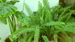 How to Overwinter Potted Ferns/Care For Boston Fern(Urdu,Hindi)