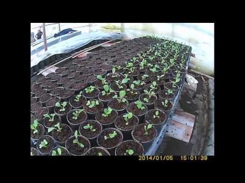 видео: как сажать и выращивать капусту пикировака капусты