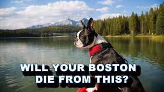 3 Common Causes Of Death In The Boston Terrier Dog Breed