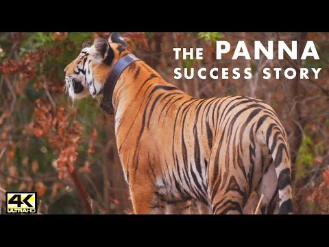 EMERALD FOREST- AN EPIC ORIGINAL #RETURN OF THE TIGERS (2020)- ICONIC STORY OF #PANNA TIGER RESERVE