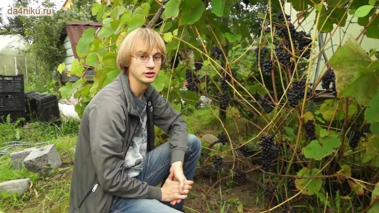 Выращивание винограда в ленинградской области