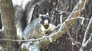 southern fox squirrel