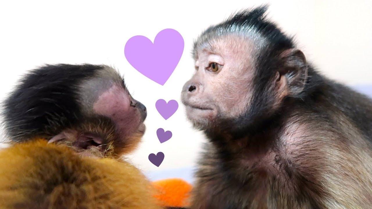 baby-monkey-capuchin-monkey-family-time