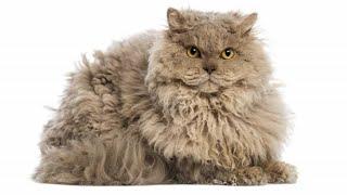 Gatos da Raça Selkirk Rex