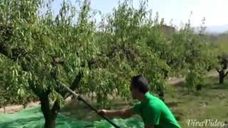 Minelli Olivgreen 500 Vareador eléctrico de almendra y aceituna