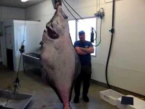Helnessund Norway 210 Kg World Record Halibut By Fish Pole