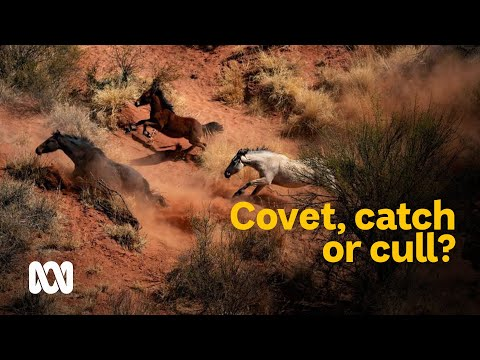 Covet, Catch Or Cull: Feral Brumbies In Australia 🐎   Meet The Ferals Ep 1   ABC Australia