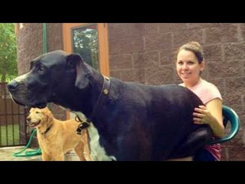Big Dogs Thinks They're Lap Dog Compilation