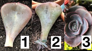 How to Propagate Sขcculents from Leaves