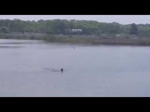 Penampakan buaya buntung di tengah danau suradita