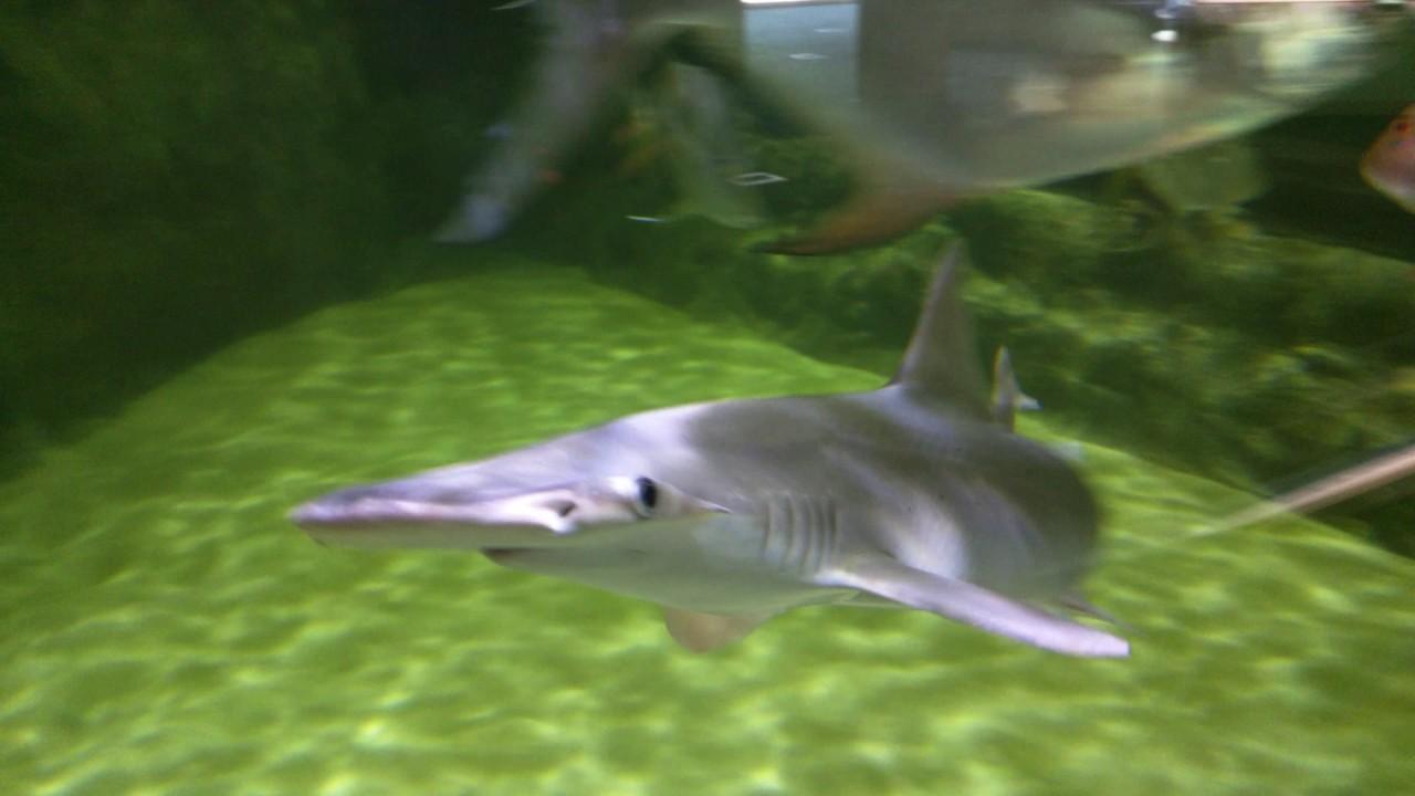Aquarium With Small Hammerhead Shark