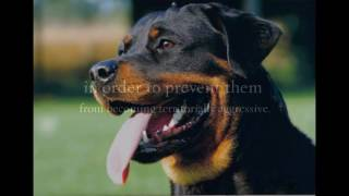 Rottweiler Training Tip: How to train a rottweiler puppy