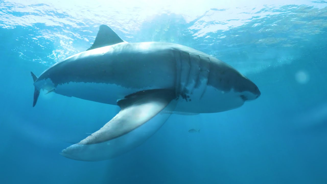 Great White Sharks 360 Video 4k Close Encounter On Amazing