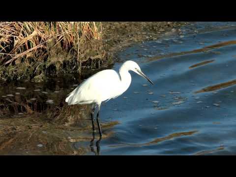 Little Egret - Kleine Zilverreiger  Rio Formosa Portugal