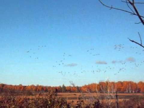 Grues du Canada en vol - Parc national de la Pointe-Taillon - Sépaq