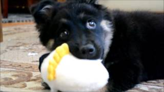 Cute Pomeranian Playing With Aflac Duck