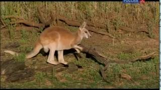 Животные мира Эмблема страны Юг континента Леса запада Райская птица Драки кенгуру Самые крупные