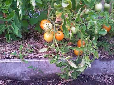 Вопрос: Как подготовить грядки под помидоры?