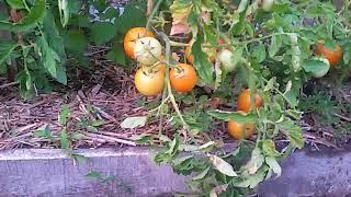 как сделать грядки для помидор в открытом грунте