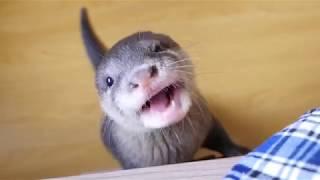 赤ちゃんカワウソのビンゴさんジャーキーの食べが可愛い Baby Otter Bingo eating scene