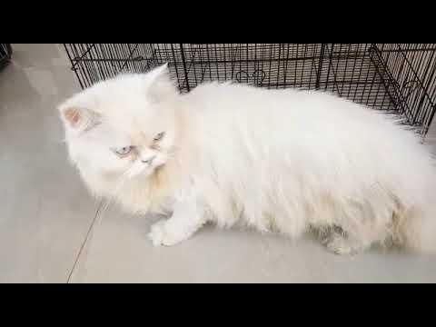 Semi Punch Persian Cat Youtube