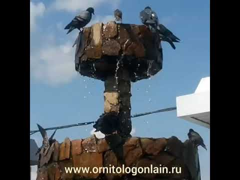 Водные процедуры птиц.