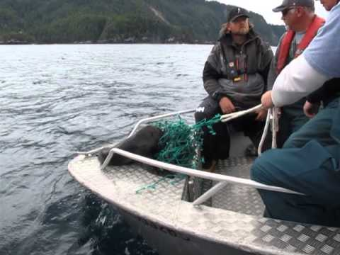 Sea Lion Pup Rescue - Engelfield Bay, BC