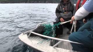 Sea Lion Pup Rescue - Engelfield Bay, BC