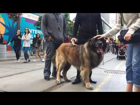 TIFF 2019 | Leonberger Experience