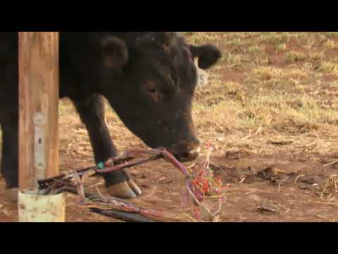 Cow eating and cewing on electric wires near Lahoma Oklahoma !