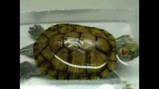 為家裡的巴西龜拍些生活影片結果 . . .