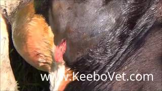 Repeat youtube video Abscess In Cattle, Veterinarian Doctor Helps By Performing Surgery