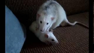 Знакомство крыс/Какой была Буся в детстве