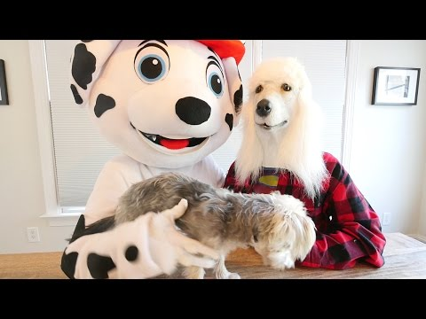 Paw Patrol IRL Adult Dogs in Real Life   Daddy Dog and Puppy Zumi Playing